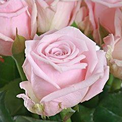 Роза Аква Белла