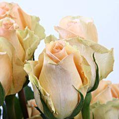 Роза Версилия