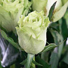 Роза Грин