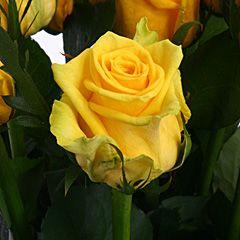 Роза Тара
