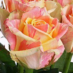 Роза Фиеста