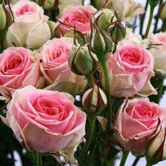 Роза кустовая Мими Эдем