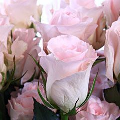 Роза Свит Акито
