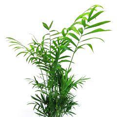 Хамедорея (лист)