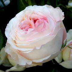 Роза Анджи Романтика