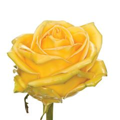 Роза Вакс желтая