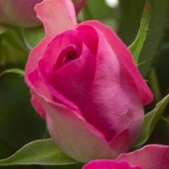 Роза Акуна Матата Аква Грейд розовая