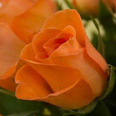 Роза Акуна Матата Физз рыжая