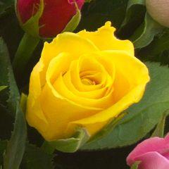 Роза Акуна Матата Сонриса желтая