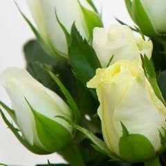 Роза Акуна Матата Акито белая
