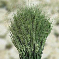 Тритикум (пшеница)