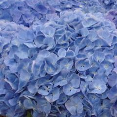 Гортензия Верена голубая