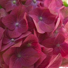 Гортензия Глоуинг Алпс розовая