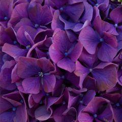 Гортензия Родео фиолетовая