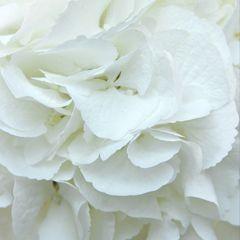 Гортензия Сноуболл белая