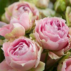 Роза кустовая Сплеш Сенсейшн