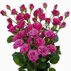 Роза кустовая Глориус