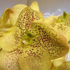 Орхидея Ванда Еллоу Мэджик
