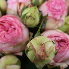 Роза кустовая Брайдал Пиано