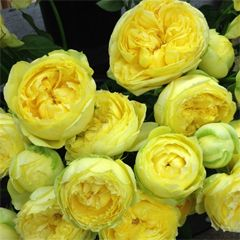 Роза кустовая Каталина