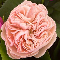 Роза Мария Терезия