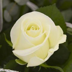 Роза Персей