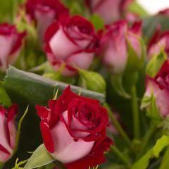 Роза кустовая Би Бабблз