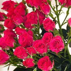 Роза кустовая Фрутти Бабблз
