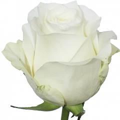 Роза Прауд