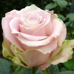 Роза Фейф