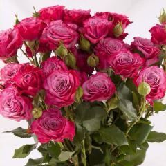 Роза кустовая Кайли