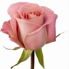 Роза Эрмоза