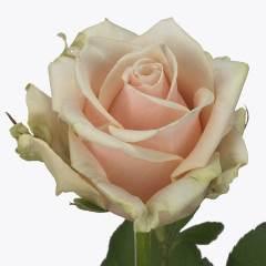 Роза Муссет