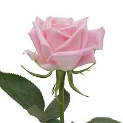 Роза Хот Эскимо