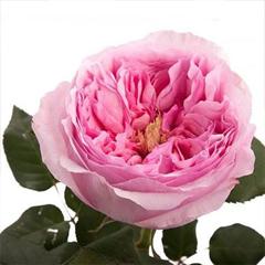 Роза Дэвид Остин Кэри