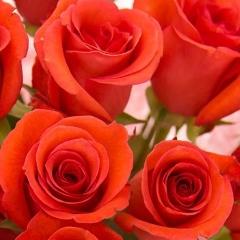 Роза Трон