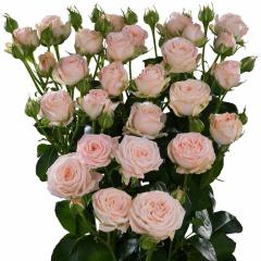 Роза кустовая Мисс Бомбастик