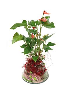 Растение «Антуриум в стеклянной вазе»