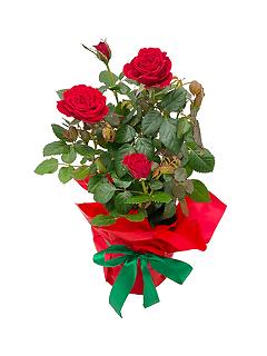 Растение «Роза в горшочке» - заказ цветов на Flower-shop.ru