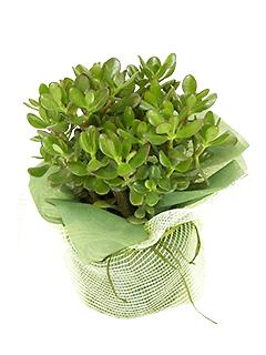Растение «Толстянка в подарочной упаковке»