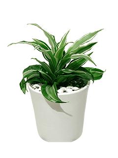 Растение «Драцена в керамическом кашпо»
