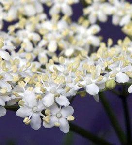 Ароматы цветов зависят от грибков и бактерий!
