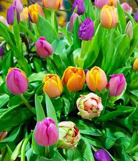 Тюльпаны – самый популярный