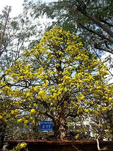 На цветочном рынке Вьетнама выставили на продажу самые старые деревья в стране