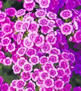 Эффектные розовые гвоздики стали фаворитами сезона