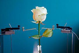 Растения способны обеспечить нас электричеством?