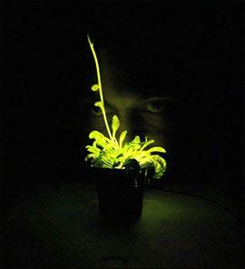 Светящиеся в темноте цветы: синтетическая биология сотворила чудо!